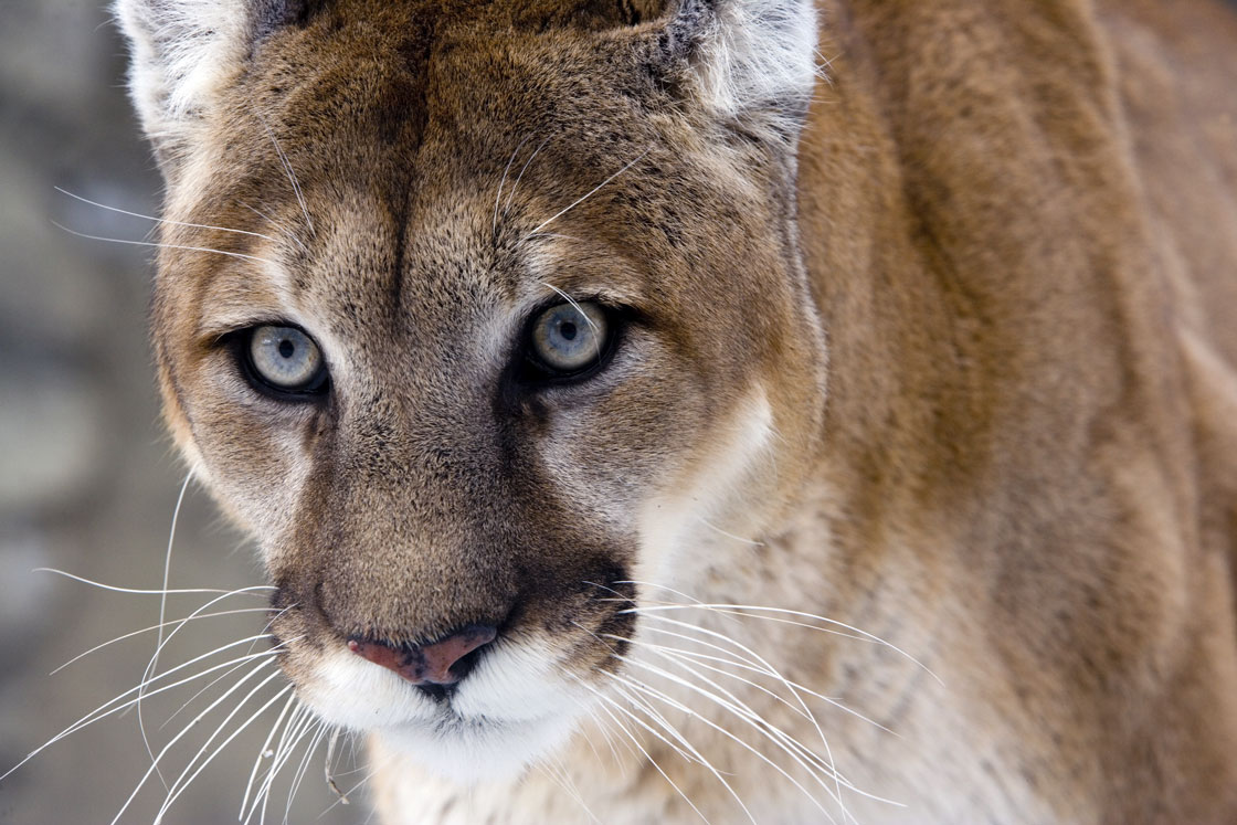 Mountain Lion Captured in Cody