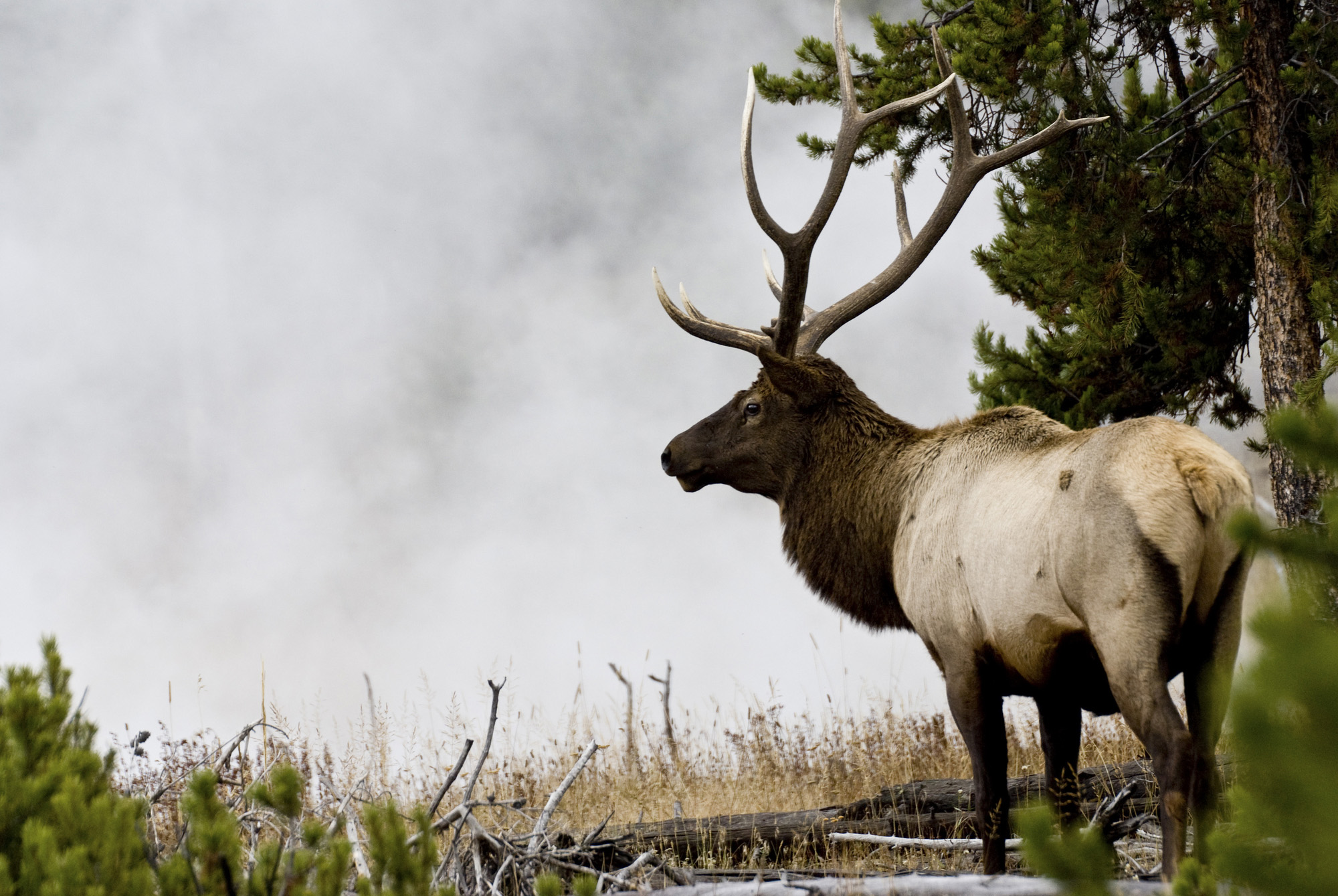 Hunters Urged to Submit Blood Samples from Elk for Brucellosis Research