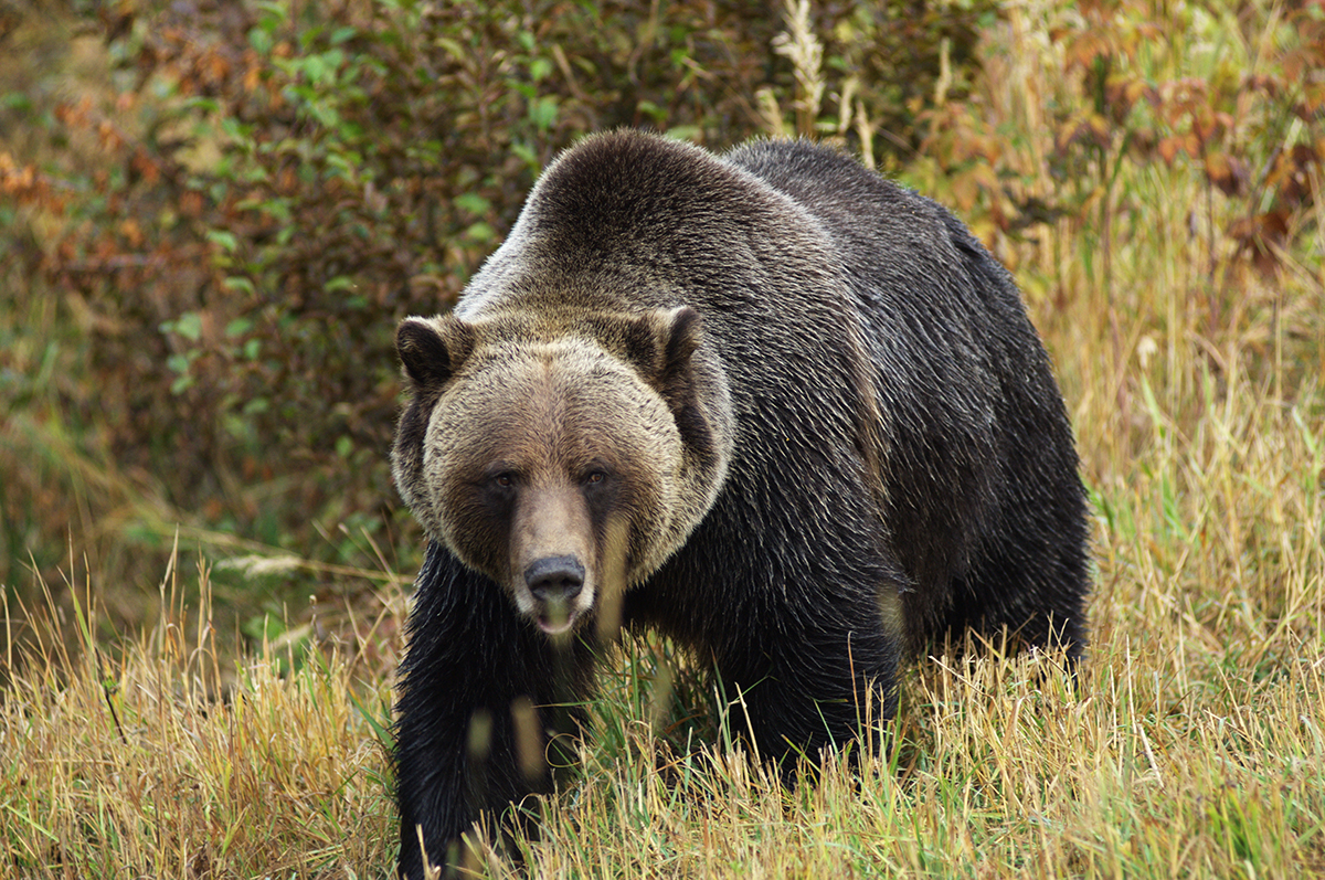 Grizzly Bear Hunt Boundaries Changed in Wyoming