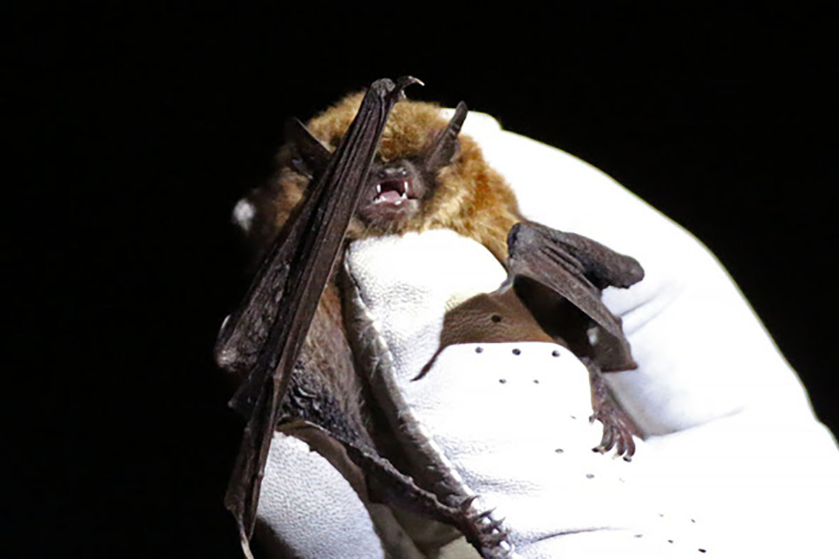 Where in Wyoming Do Bats Winter? The WGFD Hopes to Find Out