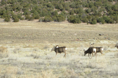OPINION: Mule Deer Population Survival Is Up To Us
