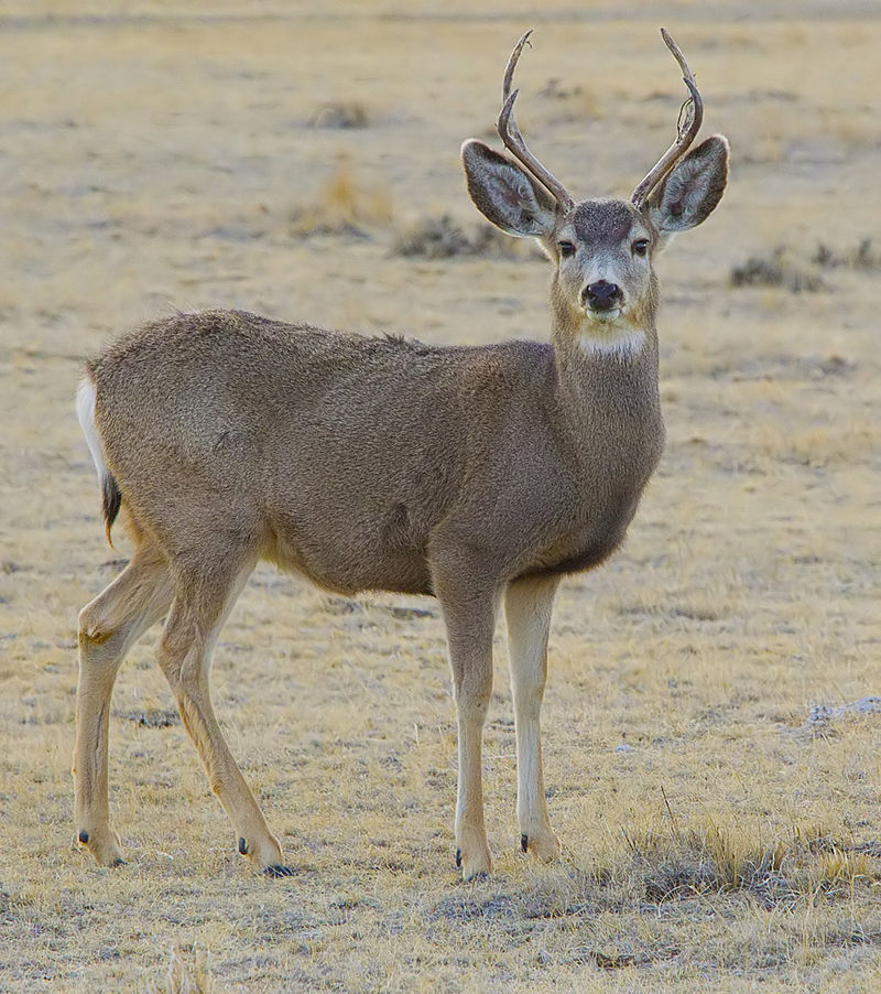 WGFD Continues Public Discussion of the Wyoming Range and Sublette Mule Deer Herds