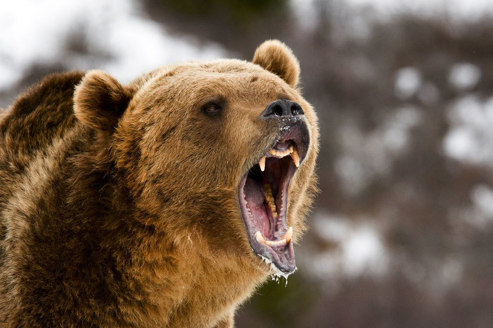 Wyoming Game and Fish and Teton County Officials responding to increase in bear sightings