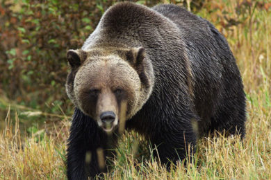 Lummis, Barrasso, Cheney Urge Federal Government to Support Delisting Grizzlies