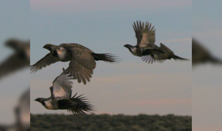 Sage Grouse Group to Meet in August