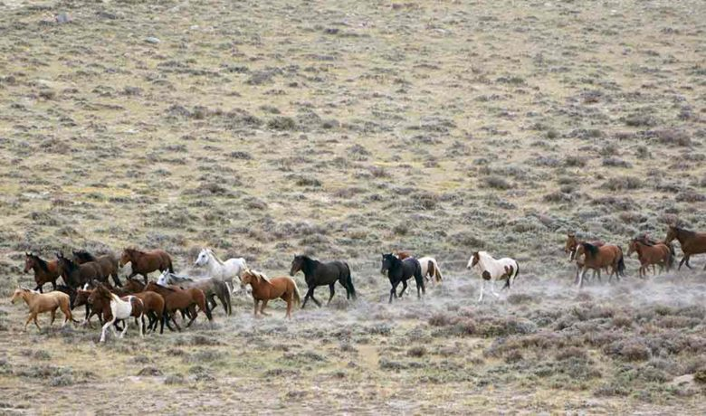 1,970 Red Desert Wild Horses Gathered by Bureau of Land Management