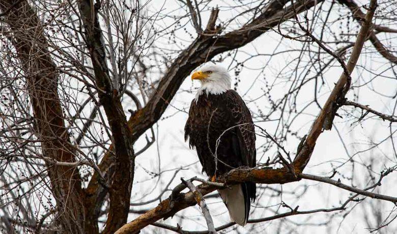 Bureau of Land Management Seeks Volunteers for Bald Eagle Survey