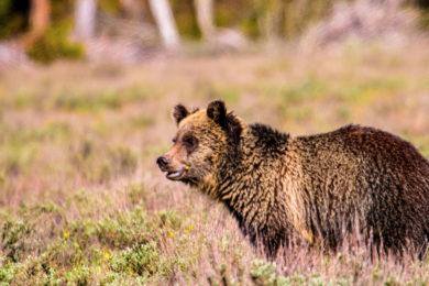 Grizzly Bear Spotted Near Viva Naughton Reservoir