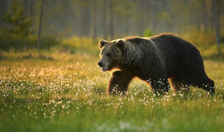 Bear Injures Hiker in Yellowstone National Park This Morning