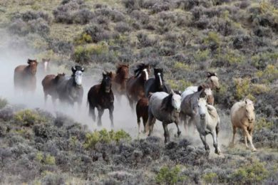 BLM to Host Four Wild Horse Adoption Events in June