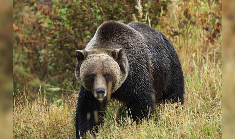 Biologists to Begin Grizzly Bear Captures in Yellowstone National Park