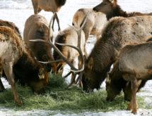 Elk Feedground Management Meetings Set for Southwest Wyoming