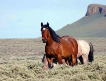 BLM to Gather and Remove Over 3,500 Wild Horses in Southwest Wyoming