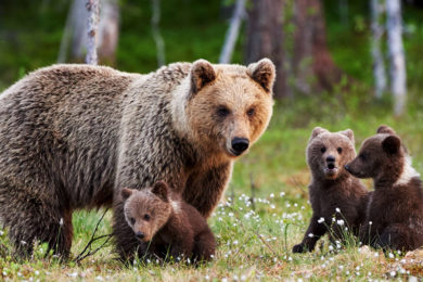 Illinois Woman Charged with Two Counts of Disturbing Bears in Yellowstone