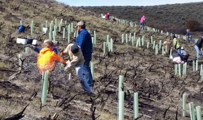 Volunteers Needed for Mule Deer Habitat Project near Pinedale
