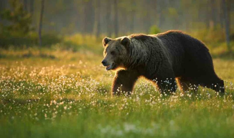 Wyoming Pursues Delisting of Grizzly Bears From Endangered Species Act